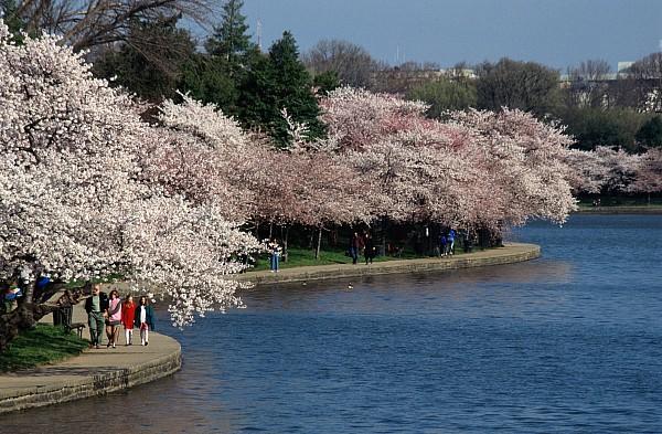 Spring Views Photograph - Cherry Blossom Festival, Jefferson by Richard Nowitz