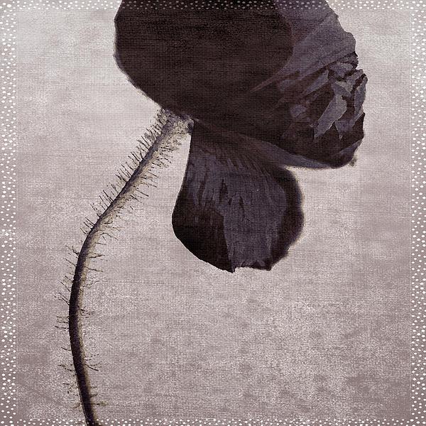 Poppy Photograph - Chocolate Poppy by Bonnie Bruno