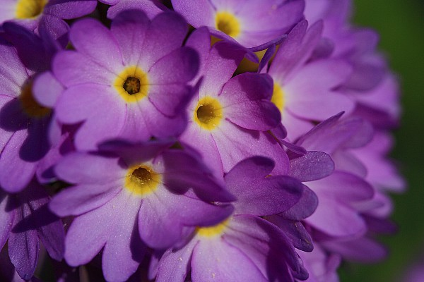 Day Photograph - Close Up Of A Cluster Of Purple by Joe Petersburger