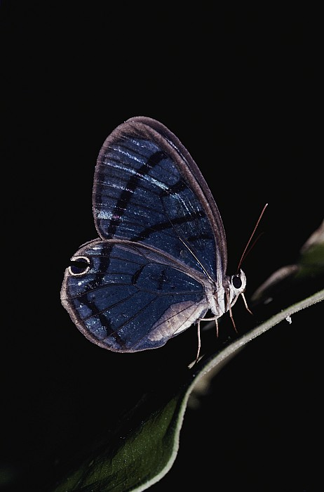 Wild Animals Photograph - Close-up Of A Glassy-wing Butterfly by Mattias Klum