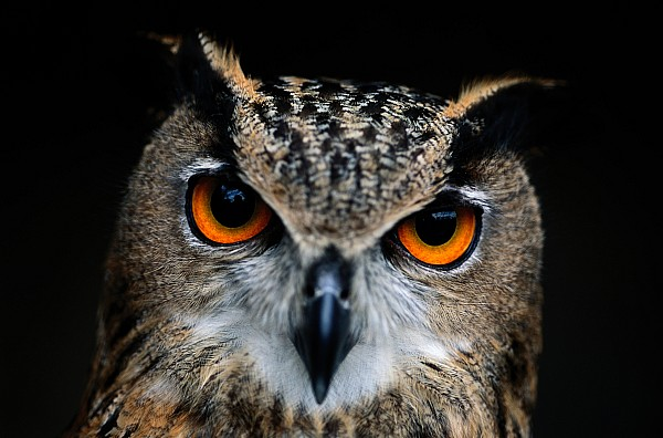 Animals Photograph - Close Up Of An African Eagle Owl by Joel Sartore