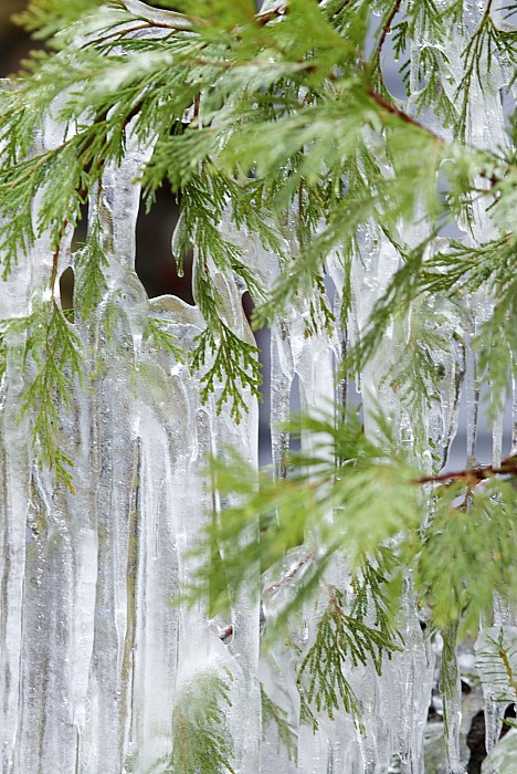 Usa Photograph - Close-up Of Ice Covered Tree Branch by James Forte