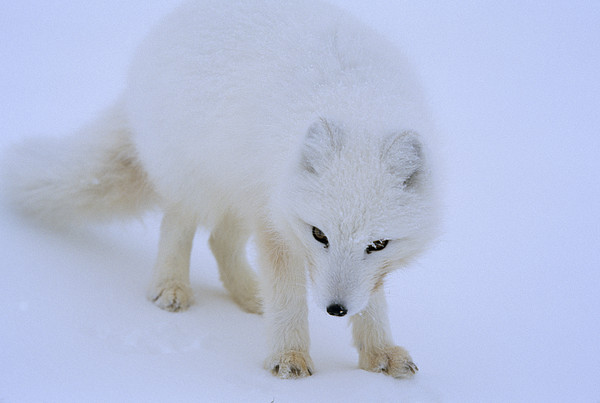 Day Photograph - Close Up Portrait Of A White Arctic by Norbert Rosing