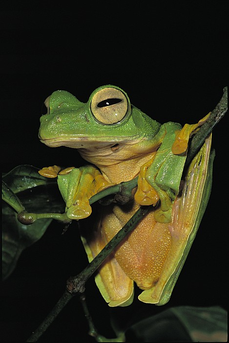 Asia Photograph - Close View Of A Wallaces Flying Frog by Tim Laman