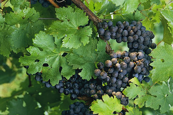 Arizona Photograph - Close View Of Red Grapes On The Vine by Kenneth Garrett