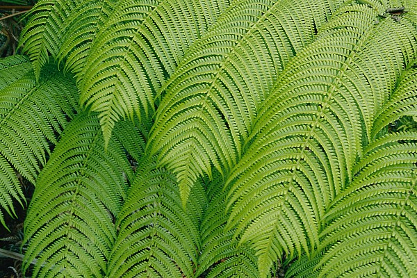 Hawaii Volcanoes National Park Photograph - Close View Of Tree Ferns Cibotium by Marc Moritsch