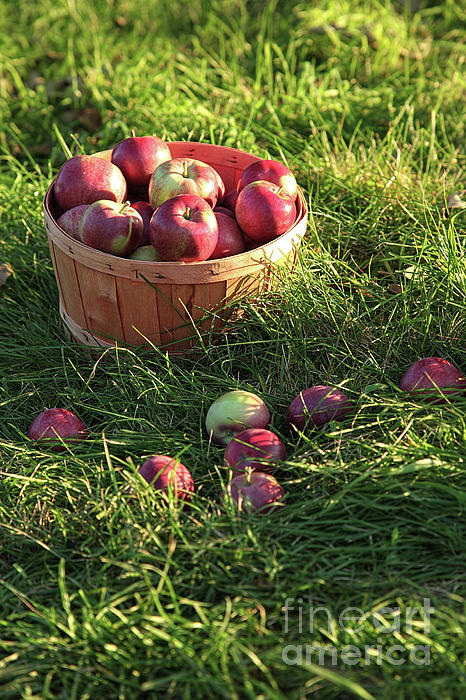 Agricultural Photograph - Closeup Of Freshly Picked Apples  by Sandra Cunningham