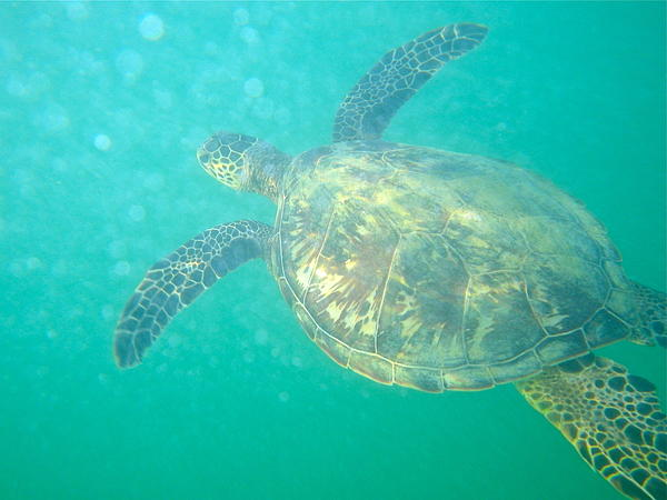 Hawaii Photograph - Clyde The Sea Turtle by Erika Swartzkopf