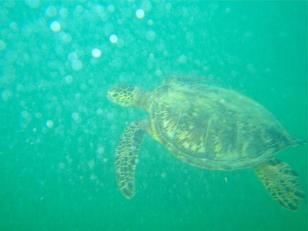 Turtle Photograph - Clyde The Turtle Three by Erika Swartzkopf
