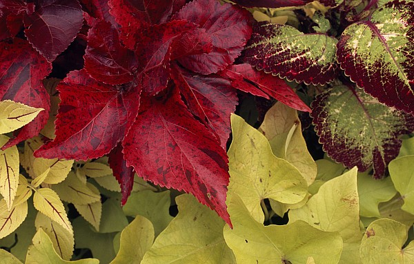 Outdoors Photograph - Coleus And Other Plants In A Window Box by Paul Damien