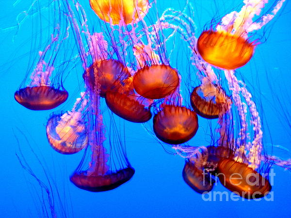Jelly Fish Photograph - Colorful Jellies by Ellen Heaverlo