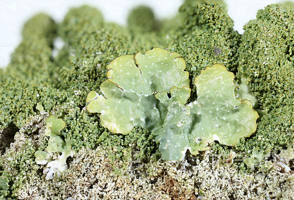 Parmelia Photograph - Common Greenshield Lichen by Ted Kinsman