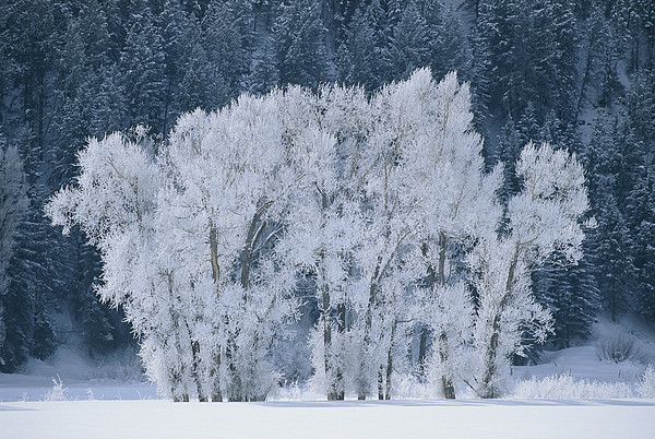 Weather Photograph - Cottonwood Trees With Frost by Skip Brown
