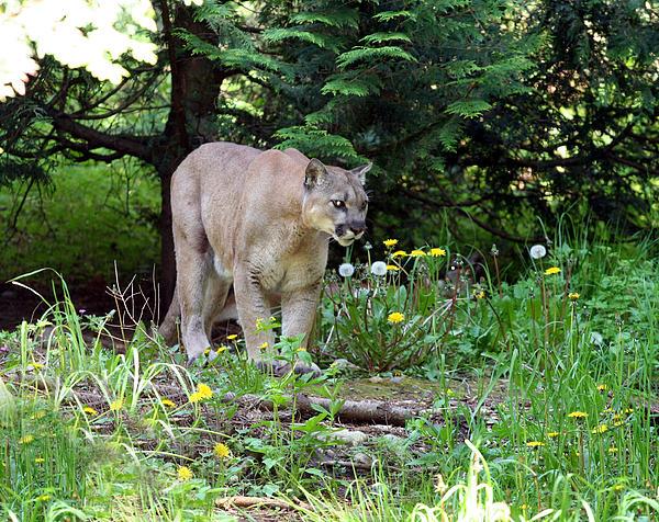 Cougar Lurking Photograph
