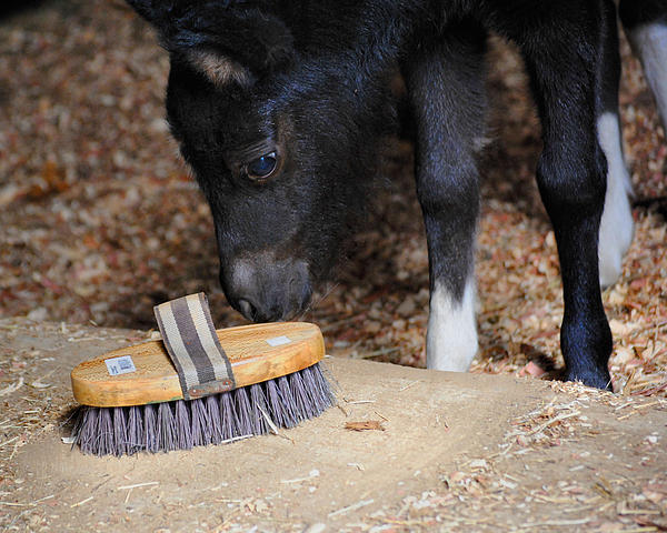 Black Photograph - Curious Miniature Pony by Jai Johnson