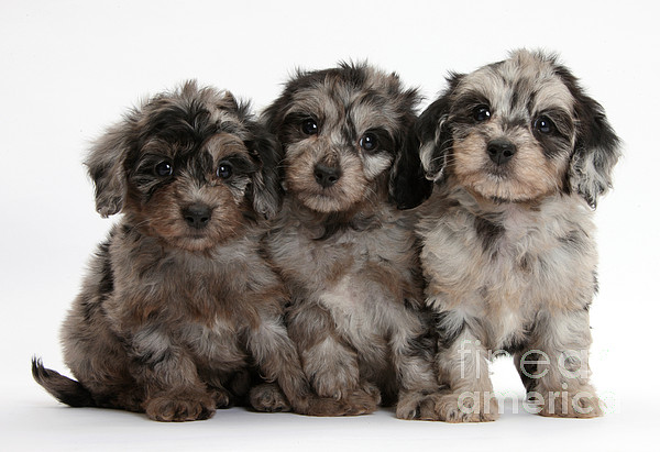 Nature Photograph - Daxiedoodle Poodle X Dachshund Puppies by Mark Taylor