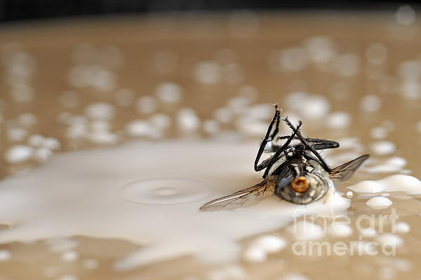 Drink Photograph - Dead Fly On Milk Drops by Sami Sarkis