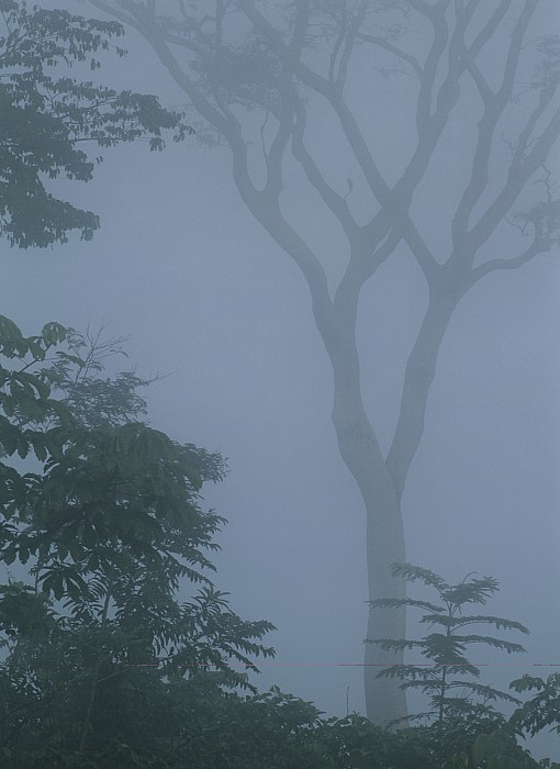 Rain Forests Photograph - Delicate Trees Appear Out Of The Mist by Mattias Klum
