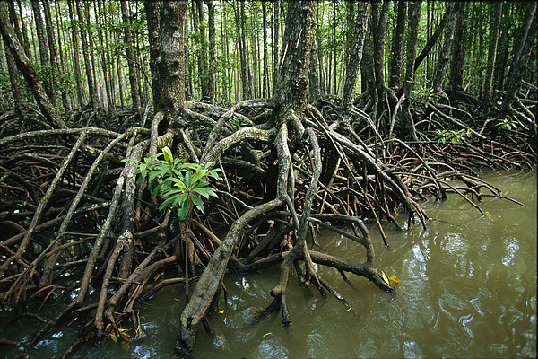 Pacific Islands Photograph - Detail Of Mangrove Roots At The Waters by Tim Laman