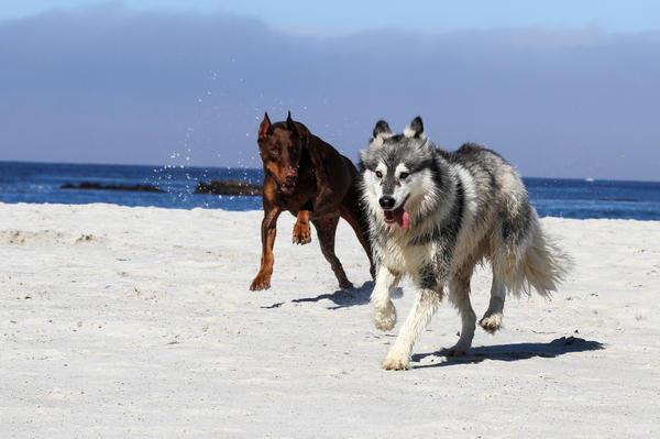 Doberman Photograph - Doberman And Husky Play by Renae Laughner