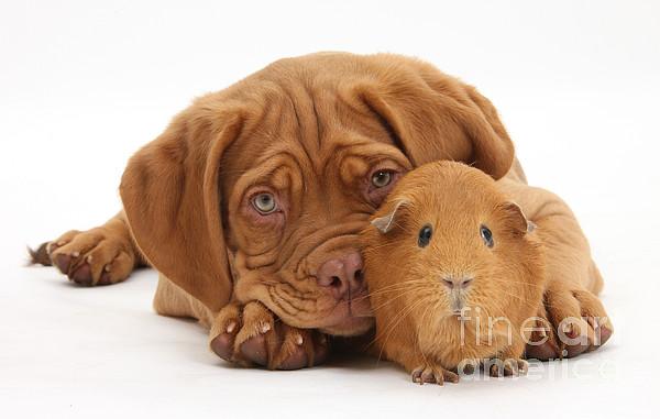 Dogue De Bordeaux Puppy Photograph - Dogue De Bordeaux Puppy With Red Guinea by Mark Taylor