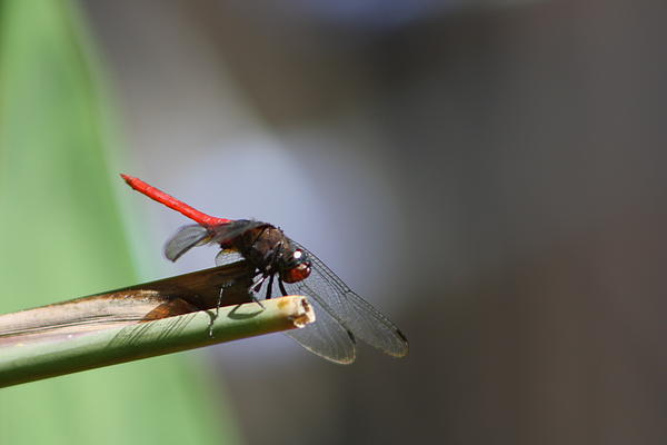 Dragonfly Photograph - Dragonfly IIi by Gonca Yengin