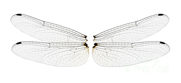 Fauna Photograph - Dragonfly Wings by Raul Gonzalez Perez