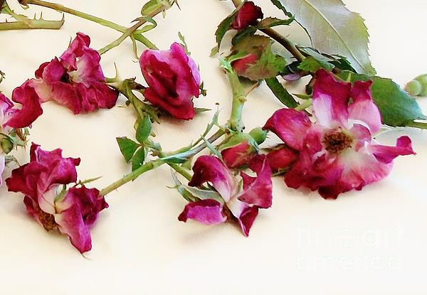 Photo Photograph - Dried Beauty Roses by Marsha Heiken