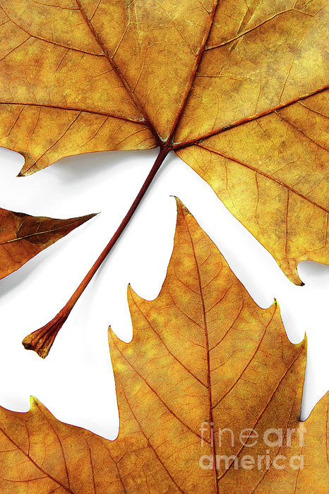 Autumn Photograph - Dry Leafs by Carlos Caetano