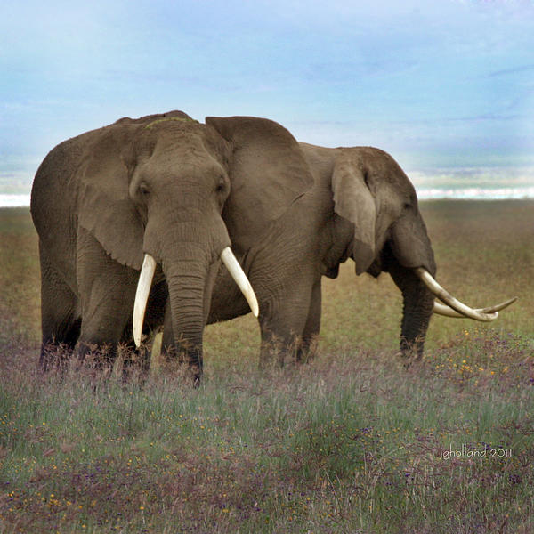 Elephants Photograph - Elephants Of The Crater by Joseph G Holland