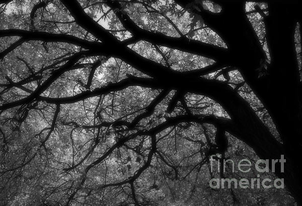 Elm Tree Photograph - Elm Tentacles by Fred Lassmann