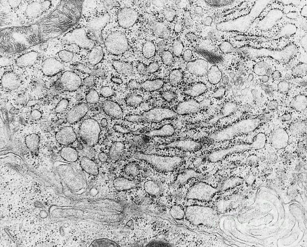 Endoplasmic Reticulum, Tem Photograph by Science Source