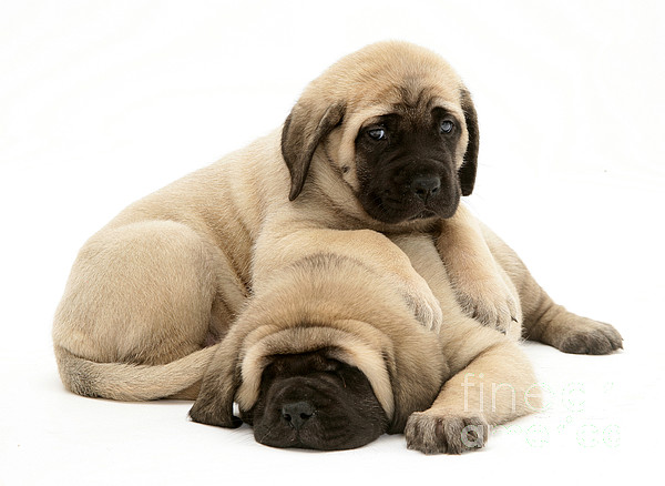 Animal Photograph - English Mastiff Puppies by Jane Burton
