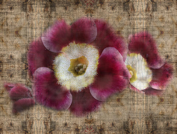 Primroses Photograph - English Primrose  by Barbara  White
