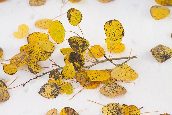 Snow Photograph - Fallen Autumn Aspen Leaves by James BO  Insogna