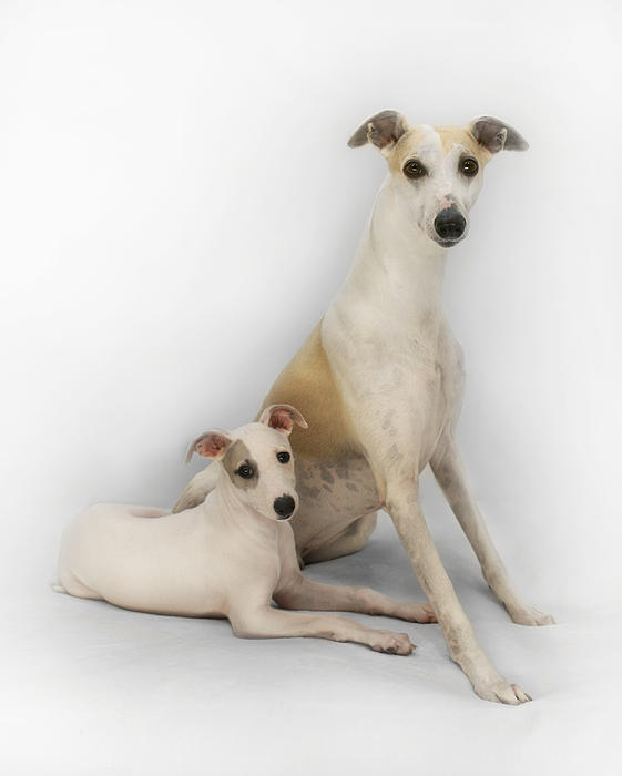 Whippet Photograph - Father And Son Whippets by John Clum