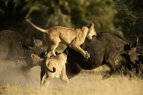 Okavango Delta Photograph - Female African Lions Pounce On An by Beverly Joubert
