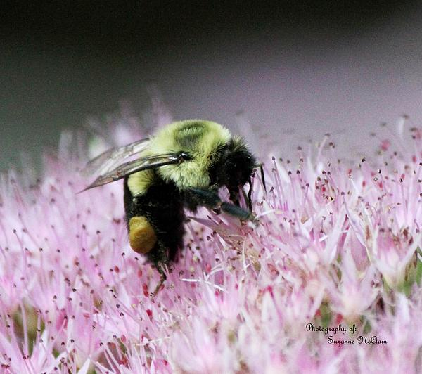 Great Egret Photograph - Female Worker Bumble Bee With Pollen Sack On Hen And Chick Plant by Suzanne  McClain