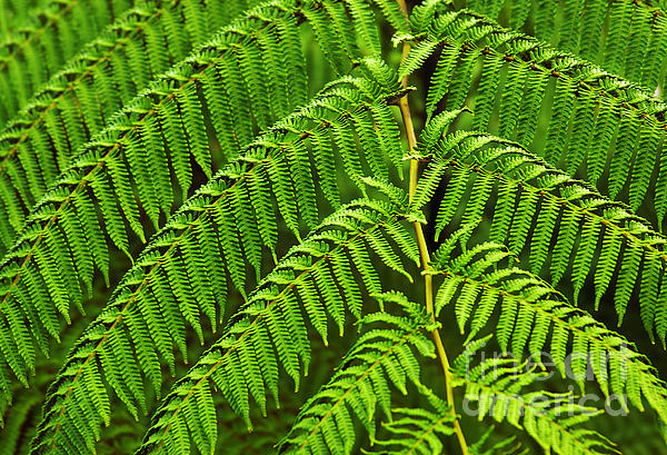 Backgrounds Photograph - Fern Fronds by Carlos Caetano