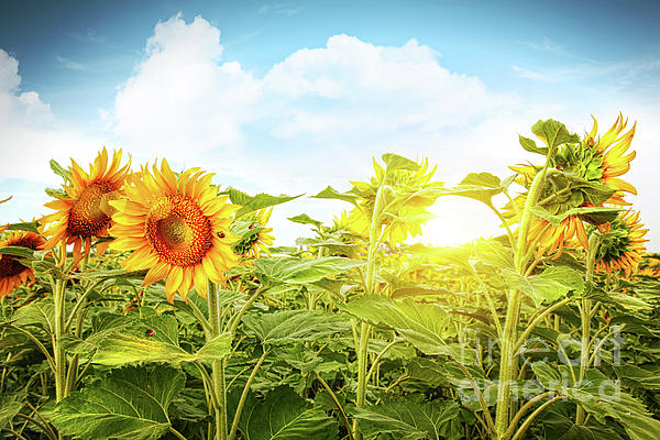 Agriculture Photograph - Field Of Colorful Sunflowers And Blue Sky  by Sandra Cunningham