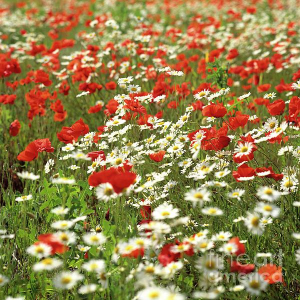 Outdoors Photograph - Field Of Daisies And Poppies. by Bernard Jaubert