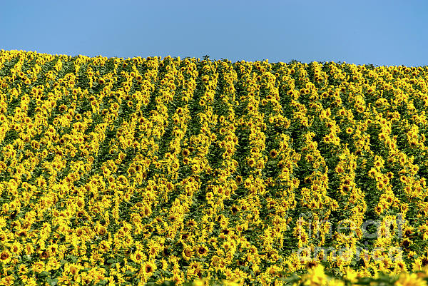 Agriculture Agricultural Crop Cultivate Cultivation Rural  Farming Field Countryside Environment Sunflower Yellow Flowers Oil Plant Photograph - Field Of Sunflowers by Bernard Jaubert