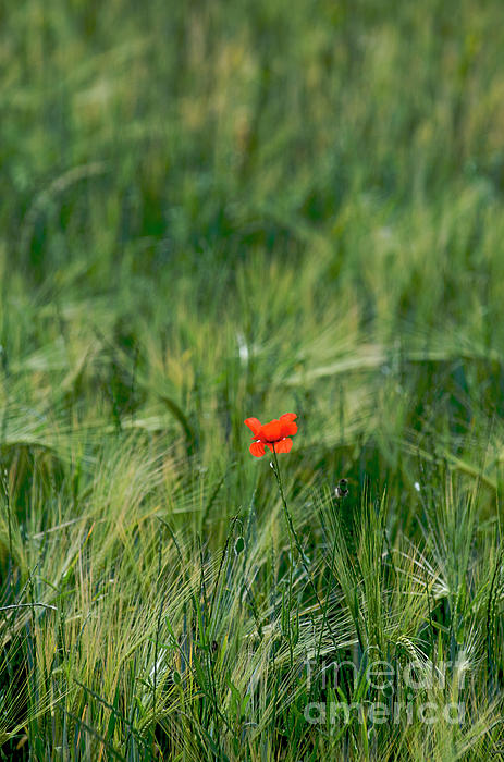 Outdoors Photograph - Field Of Wheat With A Solitary Poppy. by Bernard Jaubert