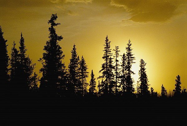 Fir Trees Photograph - Fir Trees Silhouetted In Early Morning by George F. Mobley