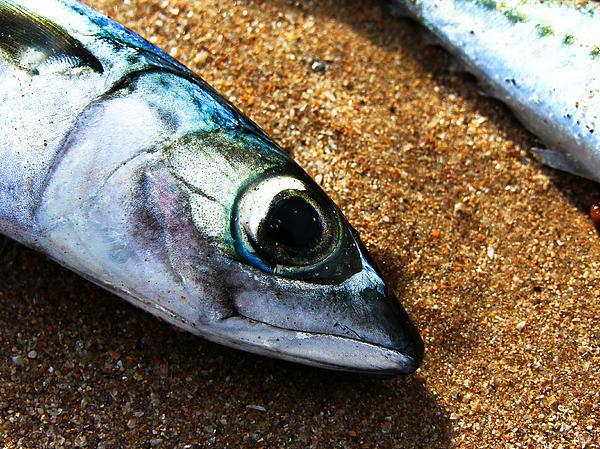 Silver Photograph - Fish by Daniel Kulinski