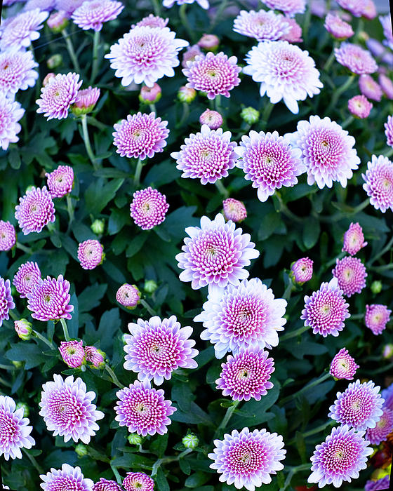 Agriculture Photograph - Fisheye Of Pink Flowers by Malania Hammer