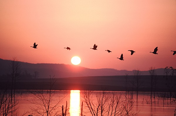 Geese Photograph - Flock Of Canada Geese Flying by Ira Block