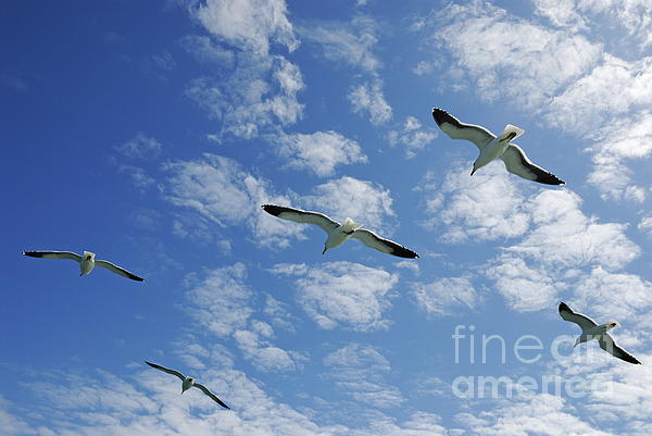 Freedom Photograph - Flock Of Five Seagulls Flying In The Sky by Sami Sarkis