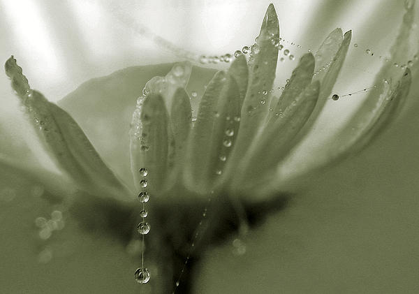 Abstract Photograph - Flower And Drops by Odon Czintos