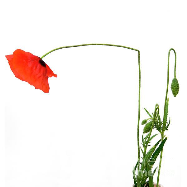 Indoors Photograph - Flower Poppy In Studio. Papaver Rhoeas. by Bernard Jaubert